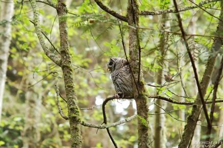barred-owl-swallowing-bird-frame-1