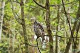 barred-owl-swallowing-bird-frame-10