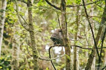 barred-owl-swallowing-bird-frame-2