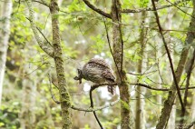 barred-owl-swallowing-bird-frame-3