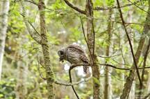 barred-owl-swallowing-bird-frame-4