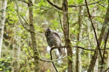 barred-owl-swallowing-bird-frame-6