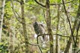 barred-owl-swallowing-bird-frame-7