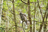barred-owl-swallowing-bird-frame-9