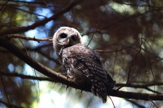 juvenile-owl-looking-back-branch-light-strikes-eye-maxwelton-watershed