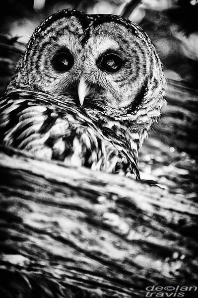 barred-owl-barred-life-washington-cedar-2-bw