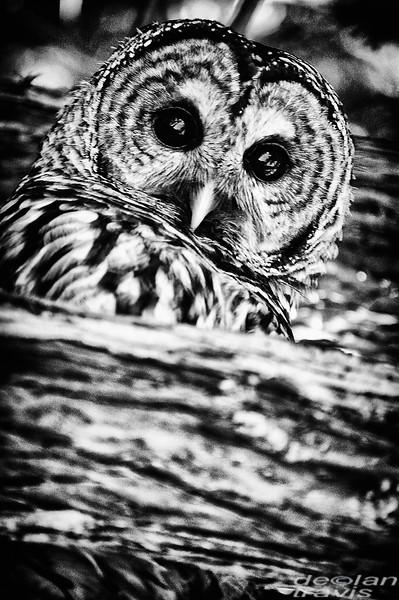 barred-owl-barred-life-washington-cedar-3-bw