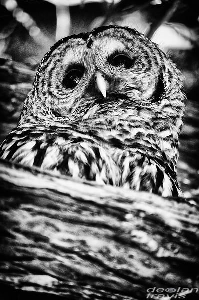 barred-owl-barred-life-washington-cedar-bw