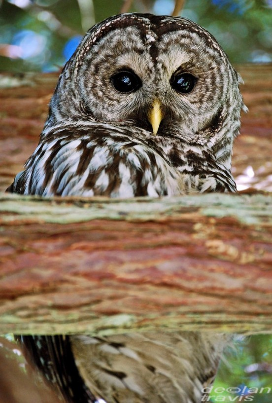 barred-owl-cedar-tree-pacific-northwest