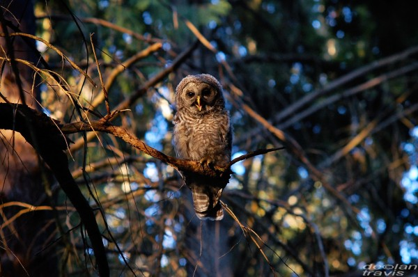 barred-owl-washington-state-greeting
