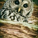 barred-owl-barred-life-washington-cedar-3