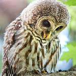 barred-owl-whidbey-island-july-17-2016