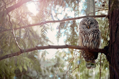 owl-encounter-whidbey-island-walks