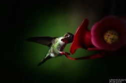 humminbird--feeder-may-1-L[1]
