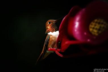 humminbird--feeder-may-2-L[1]