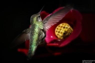 humminbird--feeder-may-5-L[1]