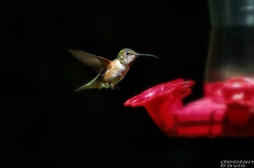 humminbird--feeder-may-7-L[1]