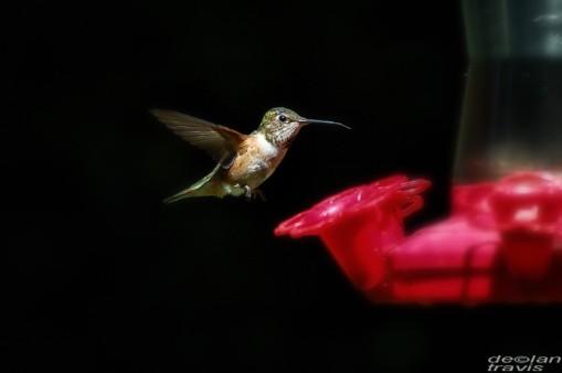 humminbird--feeder-may-7-L[1]